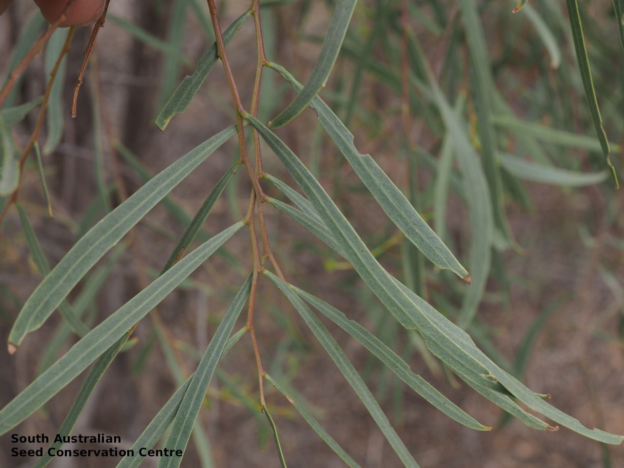 Seeds Of South Australia Species Information
